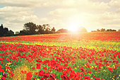 summer poppies - Stock Image - D9WF9N