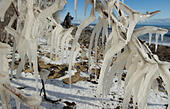 Sassnitz, Germany. 06th Jan, 2017. Impressive icicles hang from the branch of a tree after storm tides in the Baltic resort town of Sassnitz, Germany, 06 January 2017. The aftermath of the storm has drawn droves of visitors curuous to inspect the damage to the area. The head of the local district authority Drescher (CDU) warned visitors and locals not to walk too close to the edges of cliffs. Photo: Stefan Sauer/dpa-Zentralbild/dpa/Alamy Live News - Stock Image - HGAEEM