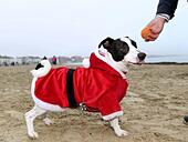 Weymouth Beach in Dorset, UK. 18th Dec, 2016. Dog dressed as Santa, Chase the Pudding Santa Run on Weymouth Beach in Dorset, UK Credit: Dorset Media Service/Alamy Live News - Stock Image - HE61AK