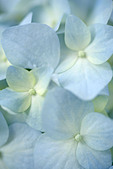 Close up of blue white flowers of Hydrangea macrophylla flower - Stock Image - A67YK0
