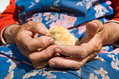 old peasant woman holding chicken in her wrinkled hands - Stock Image - BCMPFK