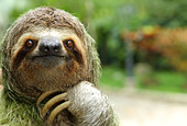 Closeup of a three-toed sloth, Costa Rica - Stock Image - DDPE86