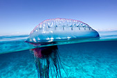 Over/under view of a Portuguese Man of War, a jelly-like marine invertebrate of the Family Physallidae. - Stock Image - C2A9T8