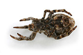 Hyptiotes paradoxus spider, family Uloboridae, on White Background. Hanging upside down. - Stock Image - A3G2PG