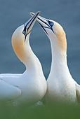 Northern gannet (Sula / Morus bassana) pair, Heligoland, Germany - Stock Image - BRAB0R