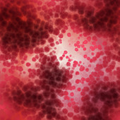 lots of red blood cells in an artery - Stock Image - ATG33M