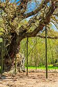 The Great Oak in Sherwood Forest home to Robin Hood and his merry men. - Stock Image - H8T7GG