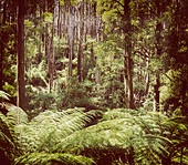 Lush green ferns, tree ferns and towering mountain ash along the Black Spur, Victoria, Australia filtered - Stock Image - DXE025