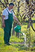 Senior man watering his garden/orchard - Stock Image - CB5RT2