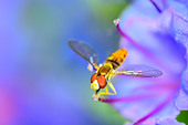 Hoverfly perched on a flower collecting pollen. - Stock Image - D9PYDM