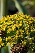 aplaceae ferula communis - Stock Image - B074TE