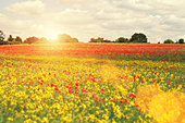 summer poppies - Stock Image - D9WFFP