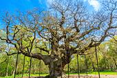 The Great Oak in Sherwood Forest home to Robin Hood and his merry men. - Stock Image - H8T7GE