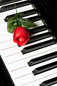 Piano Key and rose close up shot - Stock Image - BMF00K