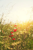 summer poppies - Stock Image - D9WC1D