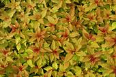Spiraea Magic Carpet gold and Orange leaves. - Stock Image - A75X50