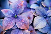 Close up of blue and purple flowers of Hydrangea macrophylla flower - Stock Image - A67YJA
