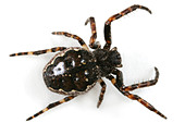 A Nuctenea umbratica spider, Araneidae family, on white background. - Stock Image - A3G2RK