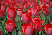Red pink bedding tulips in spring bedding scheme Road side flower beds - Stock Image - A75X34