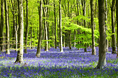 Dappled sunshine falls through fresh green foliage in a beechwood of bluebells in England, UK - Stock Image - CPEC97
