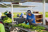 Belle Glade, Florida - Workers harvest celery at Roth Farms. - Stock Image - DTRW6T