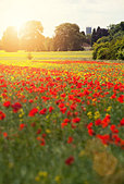 summer poppies - Stock Image - D9WBNE