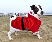 Weymouth Beach in Dorset, UK. 18th Dec, 2016. Dog dressed as Santa, Chase the Pudding Santa Run on Weymouth Beach in Dorset, UK Credit: Dorset Media Service/Alamy Live News - Stock Image - HE61AM