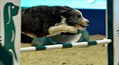 London, UK. 15th Dec, 2016. Olympia The London International Horse Show at Grand Hall Olympia London, UK. 15th Dec, 2016. the Kennel Club ABC Dog Agility Final © Leo Mason sports photos/Alamy Live News - Stock Image - HE025C