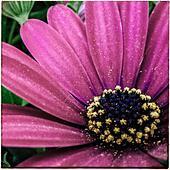 Macro of an osteospermum fructicosum flower - Stock Image - S0C9FF
