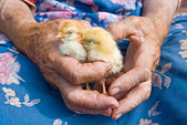 old peasant woman holding chicken in her wrinkled hands - Stock Image - BCMPGA
