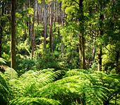 Lush green ferns, tree ferns and towering mountain ash along the Black Spur, Victoria, Australia - Stock Image - DXE02M