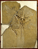 Archaeopteryx lithographica [London specimen] - Stock Image - DTGCR1