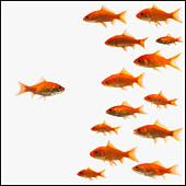 Goldfish - Stock Image - BMJ164