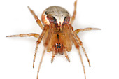 Zygiella Atrica spider on white background - Stock Image - AYRWG1