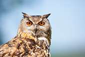 Close-up of a Eurasian Eagle- owl (Bubo bubo) showing head against a blue sky and cloud background - Stock Image - DAFTF5