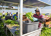 Belle Glade, Florida - Workers harvest celery at Roth Farms. - Stock Image - DTRW78