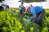 Belle Glade, Florida - Workers harvest celery at Roth Farms. - Stock Image - DTRW73