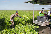 Belle Glade, Florida - Workers harvest celery at Roth Farms. - Stock Image - DTRW6E