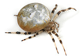 Araneus Quadratus spider on white background. Four Spot Orbweaver - Stock Image - A3G2HM