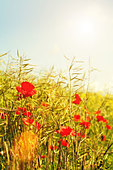 summer poppies - Stock Image - D9WCD3