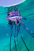Over/under view of a Portuguese Man of War, a jelly-like marine invertebrate of the Family Physallidae. - Stock Image - C2AA0Y