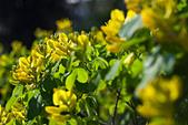 joseph dupouy nature petteria ramentacea cytise - Stock Image - B0N01P
