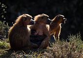 Guinea Baboon family, Cabarceno, Spain - Stock Image - CFHH7Y