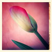 Tulip flower in pink background - Stock Image - S00HMW