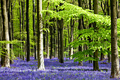 Dappled sunshine falls through fresh green foliage in a beechwood of bluebells in England, UK - Stock Image - CPEC7D