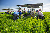 Belle Glade, Florida - Workers harvest celery at Roth Farms. - Stock Image - DTRW65