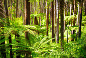 Lush green ferns, tree ferns and towering mountain ash along the Black Spur, Victoria, Australia - Stock Image - DXE043