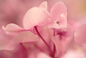 Close up of pink flowers of Hydrangea macrophylla flower - Stock Image - A67XNB