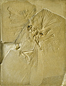 Archaeopteryx lithographica [London specimen] - Stock Image - DTF1T3