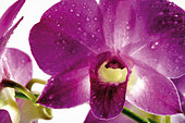 Orchid, Close up Orchideenblüte - Stock Image - AYWK7T